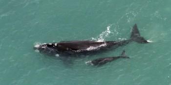 Temporada das Baleias Franca inicia na próxima semana